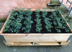 orto sul balcone - pomodori